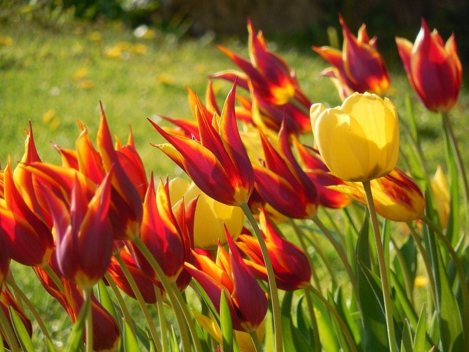 mooie bloembollen