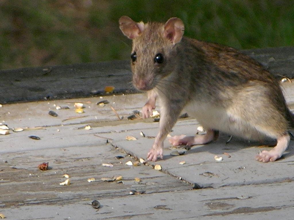 ongedierte bestrijden rat