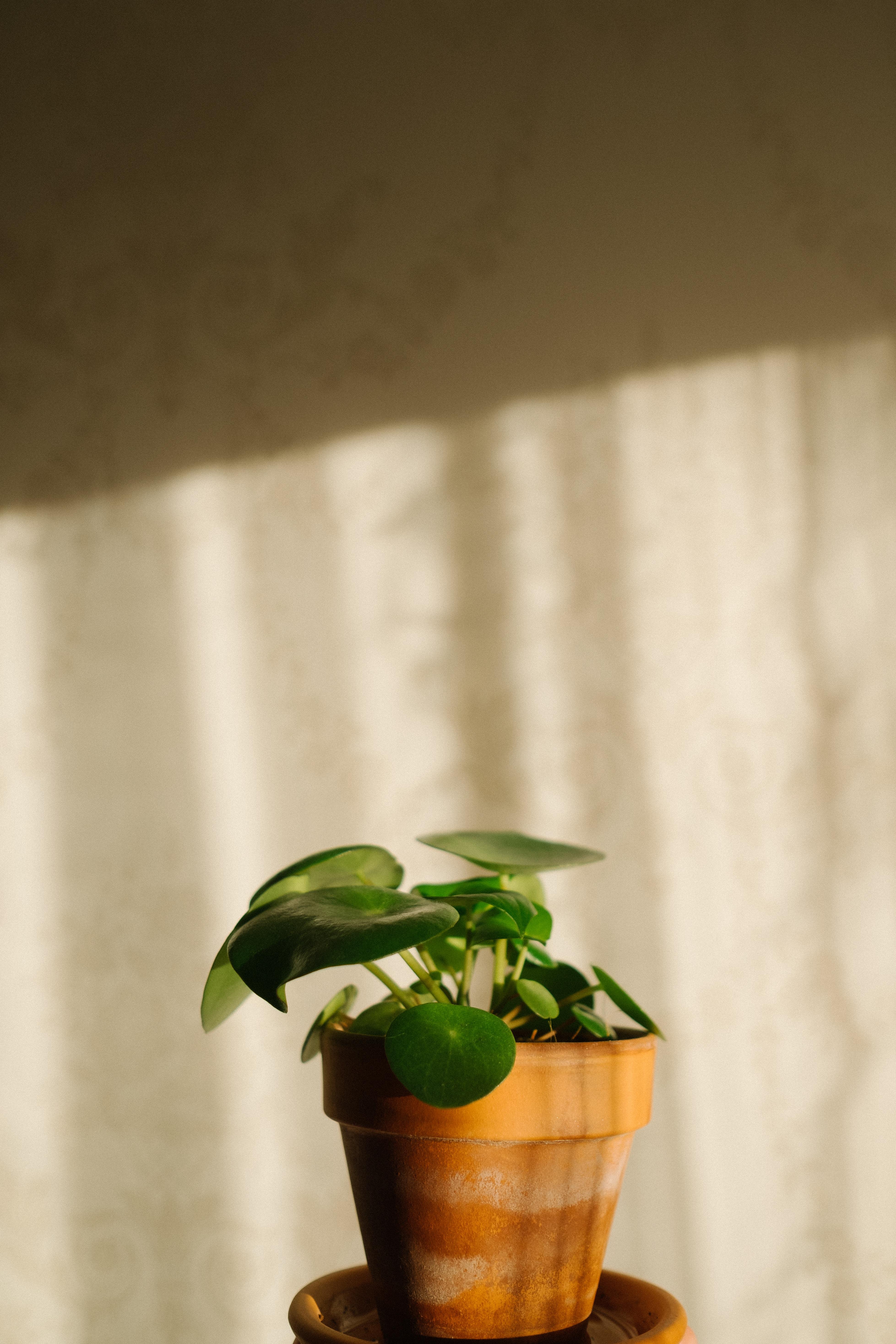Pannenkoekplant stekken op een tafeltje