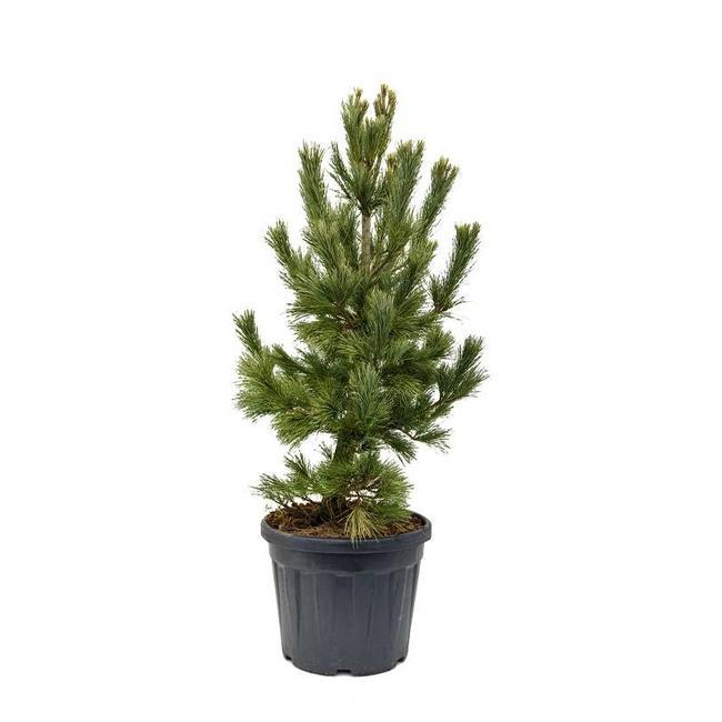 Pinus Cembra buitenplant