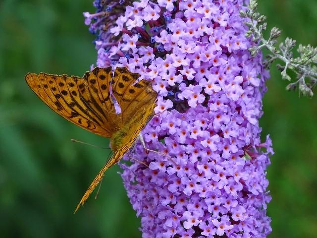 vlinderstruik paars