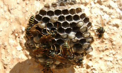 hoelang wonen wespen in een wespennest