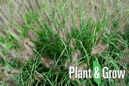 pennisetum plant & grow